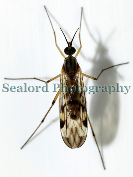 "I photographed this insect standing on my bathroom window frame on the afternoon of the 27 February 2009.  It was identified by Dr. Charles David of the Guernsey Biological Records Centre, St. Peter Port, Guernsey as Sylvicola fenestralis in the family anisopidae.  Dr. David writes that it is ""a very common species.""<br /> File No. 270209 1994<br /> ©RLLord<br /> fishinfo@guernsey.net"