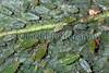 aphids on Helleborus argutifolius 010509 3399 smg