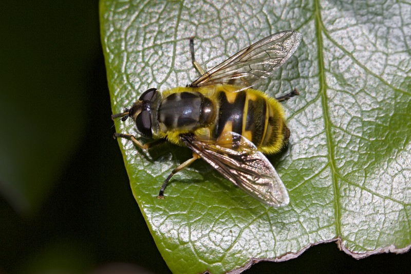 Hoverfly, Myathropa florea