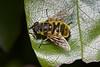 hoverfly Myathropa florea back home garden 200515 ©RLLord 0698 smg