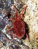 A red mite photographed on a wall by Park Lane Steps in St Peter Port, Guernsey on 2nd May 2009