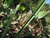 common field grasshopper, Chorthippus brunneus, at Le Gouffre, Guernsey