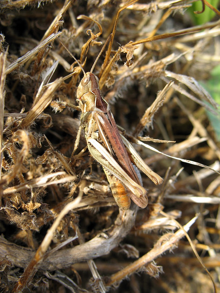 Common field grasshopper, Chorthippus brunneus, at Le Gouffre on Guernsey's south coast  on 26th July 2008