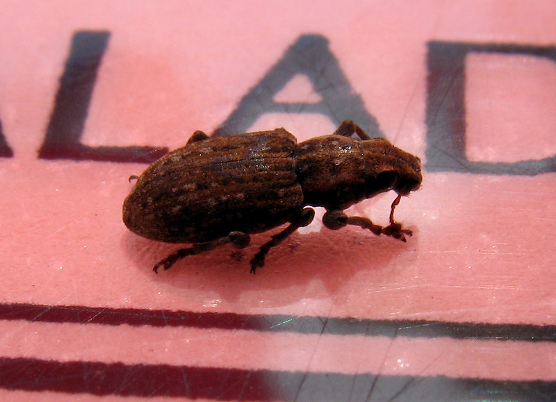 Sitona weevil lands on menu at outdoor St Peter Port eatery