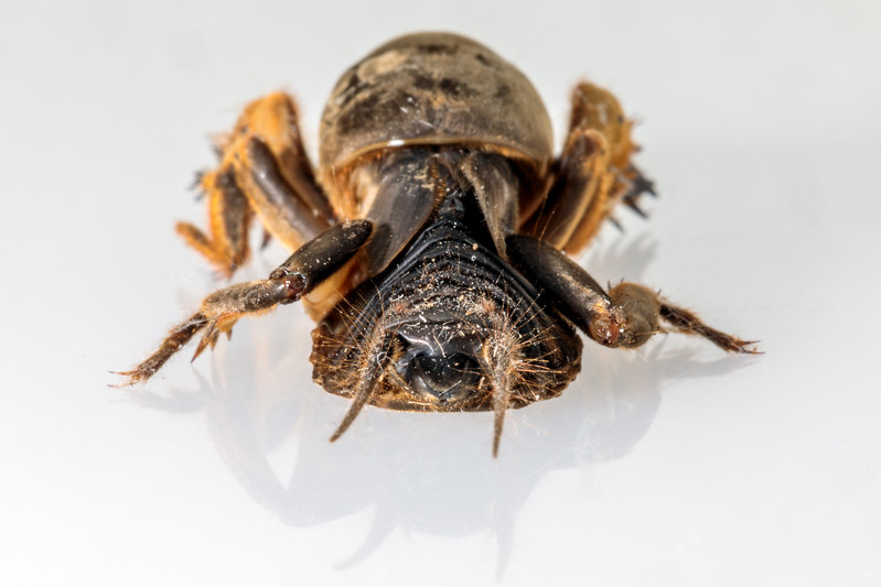 The posterior view of a small mole cricket from Guernsey