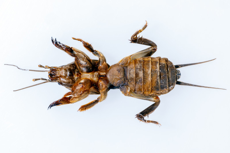 A ventral view of a mole cricket from Guernsey