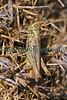 field grasshopper Chorthippus brunneus Le Gouffre 230710 ©RLLord 9700 smg