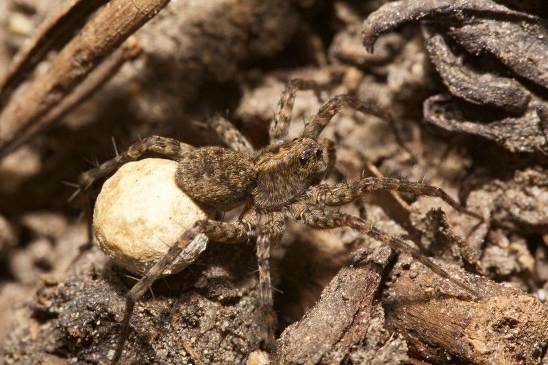 A wolf spider running over soil in a St Peter Port garden, Guernsey on 21st May 2015