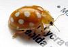 16-spot ladybird, Halyzia sedecimguttata, St Peter Port, Guernsey