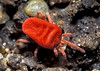 Velvet mite, Trombidium sp., in a St Peter Port, Guernsey garden on 18th September 2005