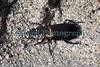 Carabid beetle, Broscus cephalotes, on Saline beach on Guernsey's west coast on 4th July 2010