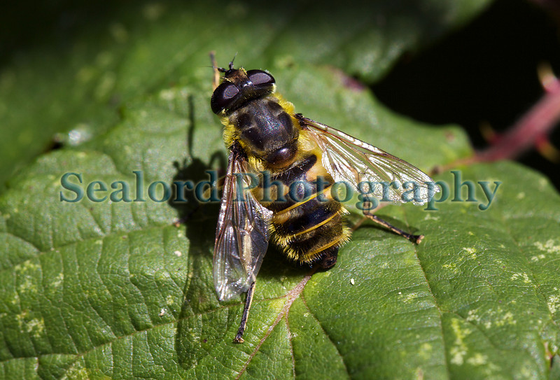 Hoverfly, Myathropea florea, on a leaf in St Martin parish, Guernsey on 10th July 2010