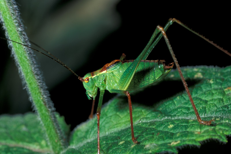 """This bush cricket, Leptophyes punctatissima, was found in my garden in St. Peter Port, Guernsey on the 28 August 2005.  The insect was identified from photographs by entomologist Dr. Charles David of the Guernsey Biological Records Centre.    <a href=""""http://www.biologicalrecordscentre.gov.gg/"""">http://www.biologicalrecordscentre.gov.gg/</a><br /> File No. 280805 36-789<br /> ©RLLord<br /> sealordphoto@gmail.com"""