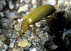 """This beetle, Ctenopius sulphureus, was walking over the sand at the top of Shell Beach, Herm Island.  The identification was made by entomologist Dr. Charles David of the Guernsey Biological Record Centre.    <a href=""""http://www.biologicalrecordscentre.gov.gg/"""">http://www.biologicalrecordscentre.gov.gg/</a><br /> <br /> ©RLLord<br /> fishinfo@guernsey.net"""
