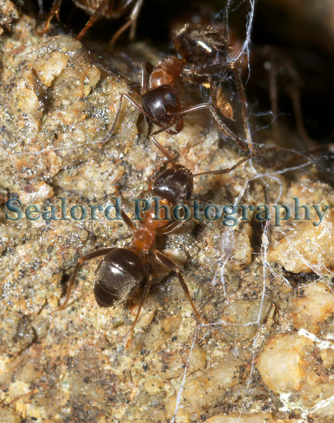 Lasius emarginatus ant Pied des Vardes SPP 020509 ©RLLord 3478 smg