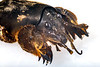 Head and claws of a mole cricket from Guernsey