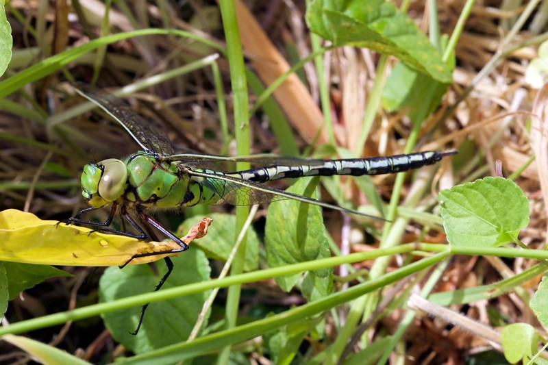 Emperor dragonsly, Anax imperator, in St Peter Port garden, Guernsey on 30th May 2015