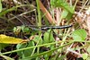 emperor dragonfly, Anax imperator, in tall grass by Montville Road, St Peter Port, Guernsey on 30 May 2015<br /> <br /> ©RLLord<br /> File No.  300515 3283<br /> sealord@me.com