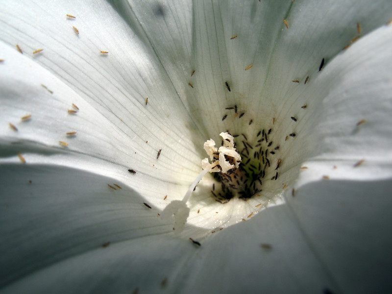 Small Iinsects in gedge bindweed flower, Calystegia sepium, in Guernsey on 29th July 2008