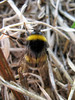 Buff-tailed bumble bee, Bombus terrestris, by Fort Road, St Peter Port