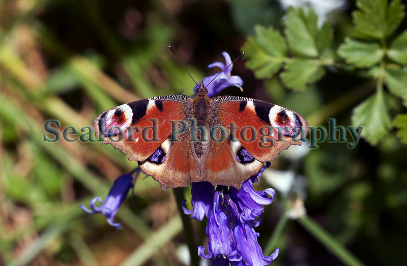 Peacock butterfly lands on a bluebell on Forval Lane leading down to Petit Bot Bay on Guernsey's south coast