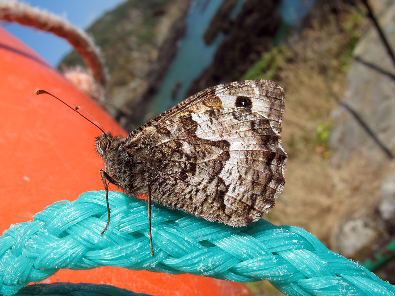 Grayling butterfly, Hipparchia semele, at Moulin Huet on Guernsey's south coast