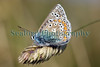 common blue butterfly Polyommatus icarus Lihou 230509 ©RLLord 4414 smg
