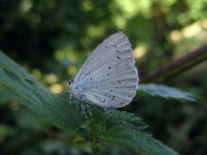 holly blue Celastrina argiolus field enclosure top Val de Terre 020808 6310 smg