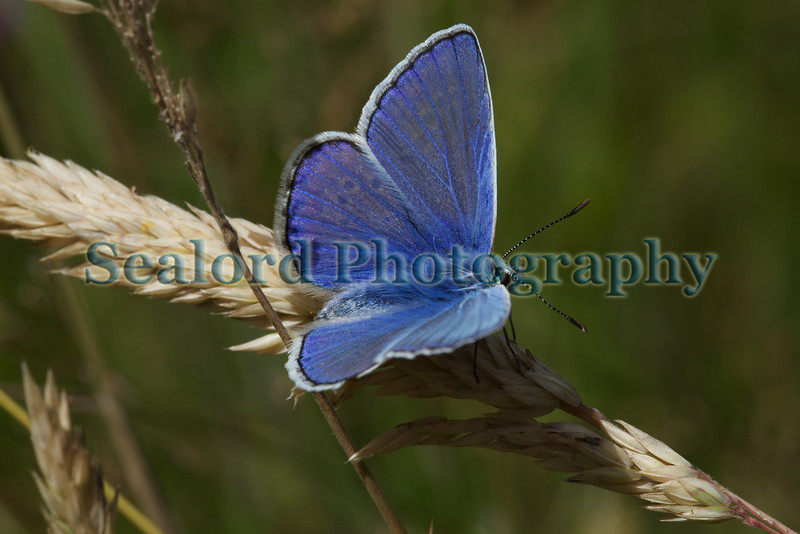 Common blue butterfly, Polyommatus icarus, in a St Peter Port garden