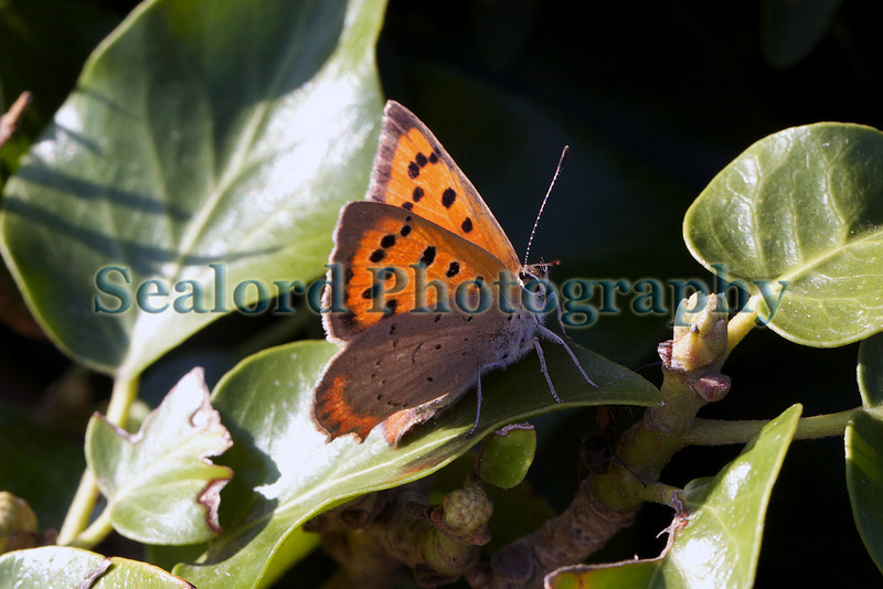 Small copper butterfly, Lycaena phlaeas, at Le Gouffre on Guernsey's south coast on 23rd July 2010