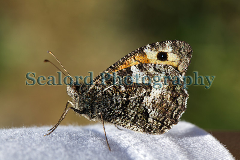 Grayling butterfly, Hipparchia semele, at Icart on Guernsey's south coast