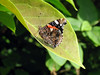 This red admiral butterfly, Vanessa atalanta, was one of two individuals found in a sunny corner of my garden in St. Peter Port, Guernsey on the 31 May 2008.<br /> File No. 310508 4891<br /> ©RLLord<br /> fishinfo@guernsey.net