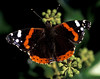 Red admiral butterfly by Montville Road in St Peter Port, Guernsey