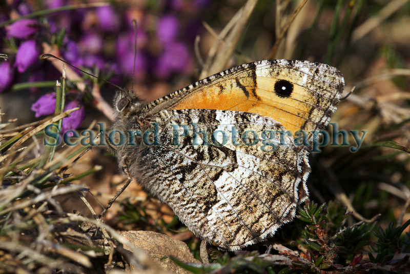 Grayling butterfly, Hipparchia semele, at Le Gouffre on Guernsey's south coast