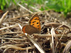 A small copper butterfly in the field by Val des Terre, St Peter Port, Guernsey