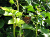 Gatekeeper butterfly, Pyronia tithonus, at Le Gouffre on Guernsey's south coast on 26th July 2008