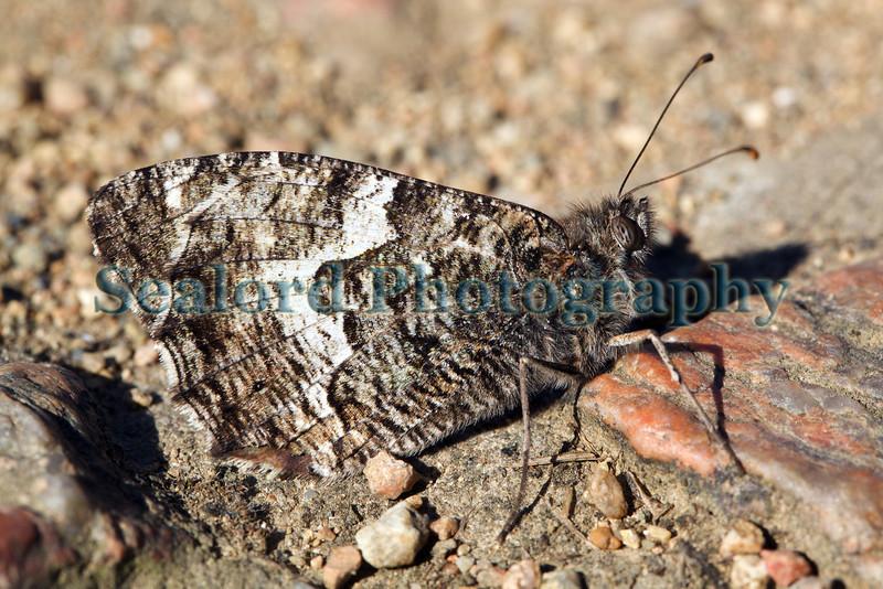 grayling butterfly Hipparchia semele Pointe de la Moye 020711 ©RLLord 9703 smg