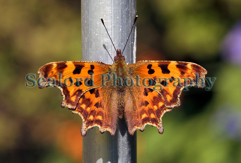 comma butterfly Polygonia c-album 260711 ©RLLord 1596 smg