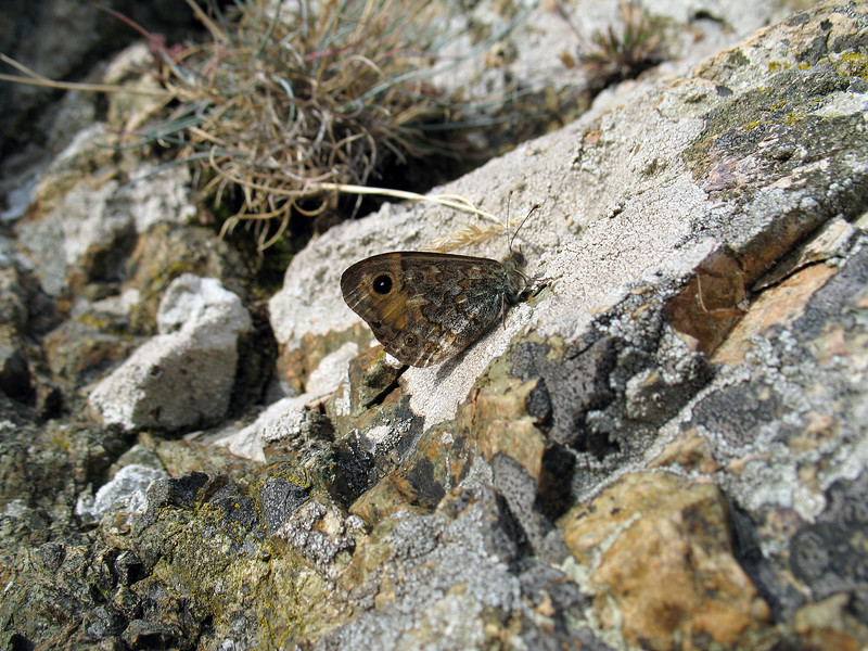 wall brown butterfly Gouffre south coast Gu 260708 5798 smg