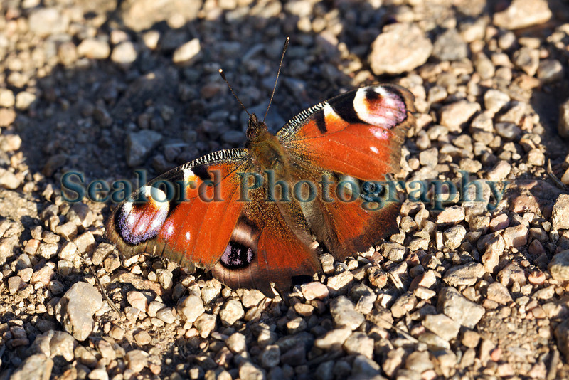 Peacock butterfly, Aglais io, lands on Guernsey's south coast cliff path on 9th July 2010