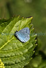 A holly blue butterfly, Celastrina argiolus, resting in the sunshine on a Hydrangea leaf in a garden in St Peter Port Guernsey at 1.21 pm on 3 May 2011.<br /> <br /> ©RLLord<br /> File No. 030511 6635<br /> fishinfo@guernsey.net<br /> sustainableguernsey@gmail.com