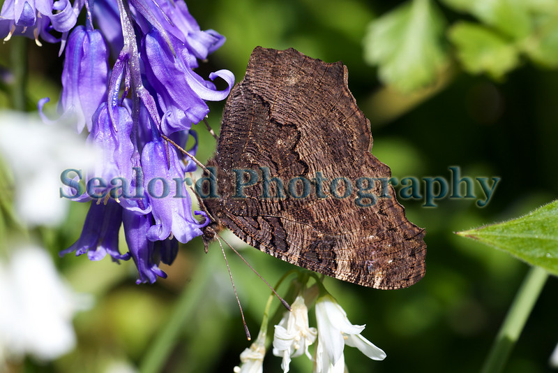 A peacock butterfly, Inachis io, feeds on a bluebell by the side of Forval Lane, which leads down to Petit Bot Bay on Guernsey's south coast on 15 May 2010.<br /> File No. 150510 9342<br /> ©RLLord<br /> fishinfo@guernsey.net