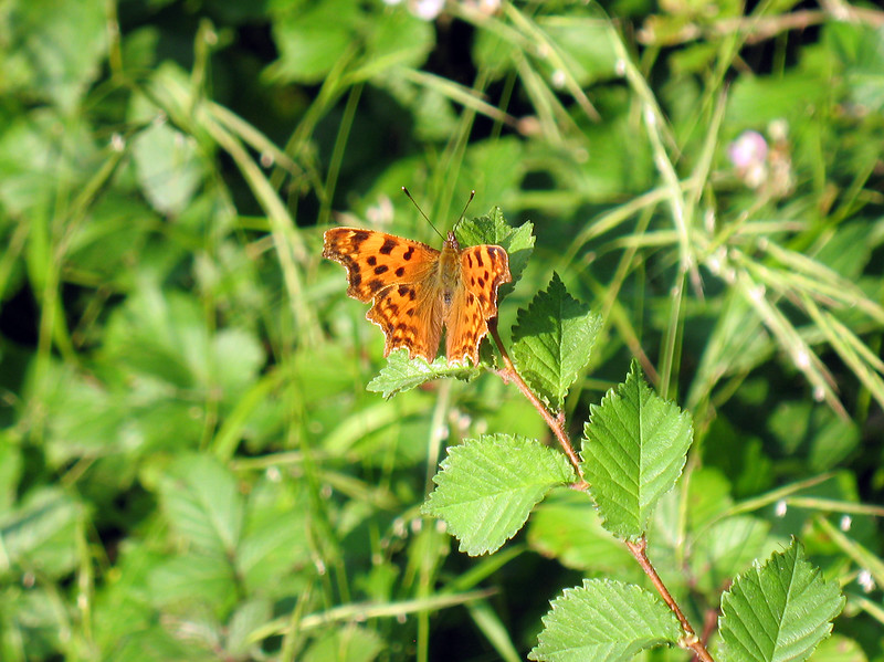 comma butterfly Polygonia c-album field edge Fort Rd 300708 6188 smg