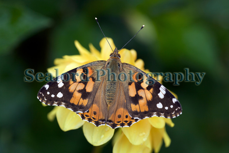 Painted lady butterfly, Vanessa cardui, lands on a yellow flower on 29th July 2009