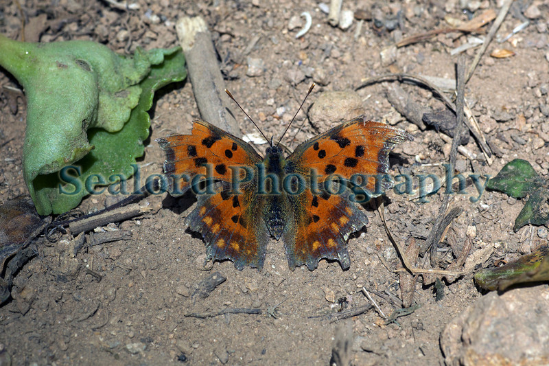 Comma butterfly on Forval Lane leading down to Petit Bot Bay on Guernsey's south coast
