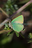 Green hairstreak butterfly at Le Gouffre on Guernsey's south coast