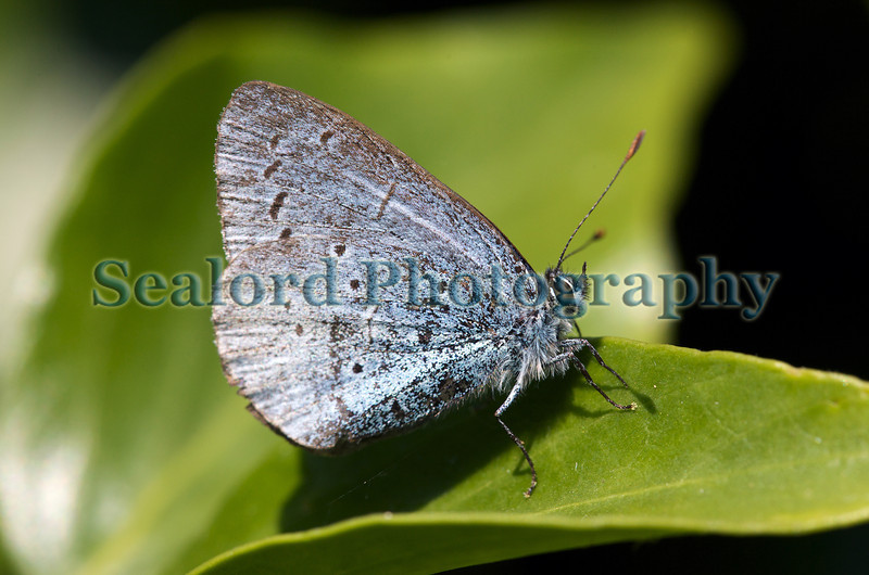 A holly blue butterfly, Celastrina argiolus, by the cliff path descending Pointe de la Moye on Guernsey's south coast on 4 June 2011.<br /> File No. 040611 7877<br /> ©RLLord<br /> fishinfo@guernsey.net