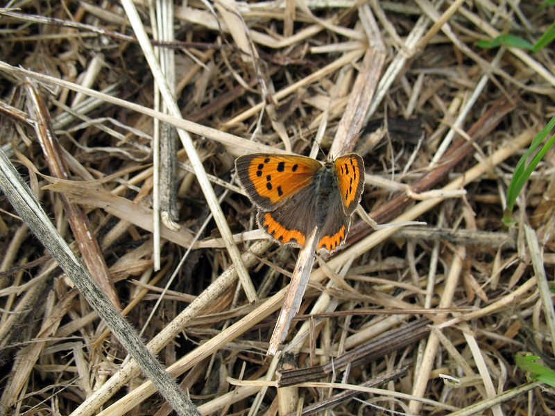 A small copper butterfly, Lycaena phlaeas, rests in the field at the top of Le Val des Terres, St Peter Port, Guernsey on 2nd August 2008
