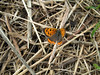 A small copper butterfly, Lycaena phlaeas, rests in the field at the top of Val de Terre, St. Peter Port, Guernsey on the 2nd August 2008.<br /> <br /> File No. 020808 6390<br /> <br /> ©RLLord<br /> sealord@me.com