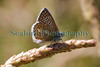 common blue butterfly Polyommatus icarus Sealord garden 060710 ©RLLord 1117 smg